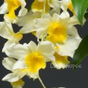 Dendrobium griffithianum x farmeri