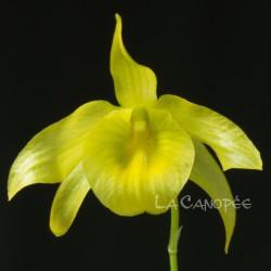 Dendrobium friedericksianum sur plaque