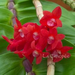 Dendrobium lawesii sur plaque