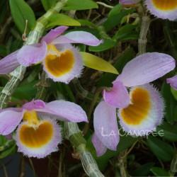 Dendrobium loddigesii sur plaque