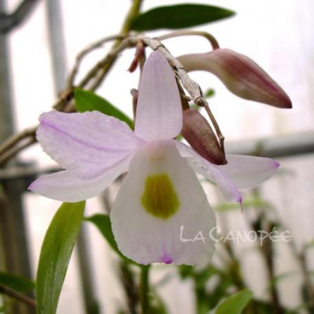 Dendrobium spathilingue