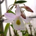 Dendrobium spathilingue sur plaque