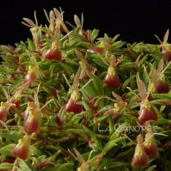 Epidendrum porpax sur plaque
