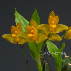 Lycaste cochleata var. major