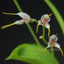 Masdevallia caloptera