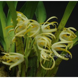 Maxillaria ochroleuca