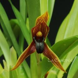 Maxillaria praestans