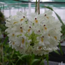 Neobenthamia gracilis