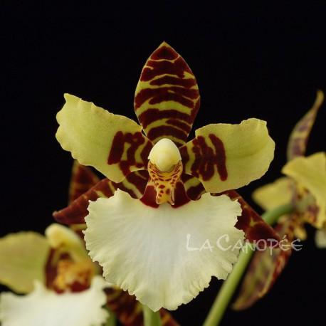 Odontoglossum (Bic-ross x rossii) x Hambühren Gold