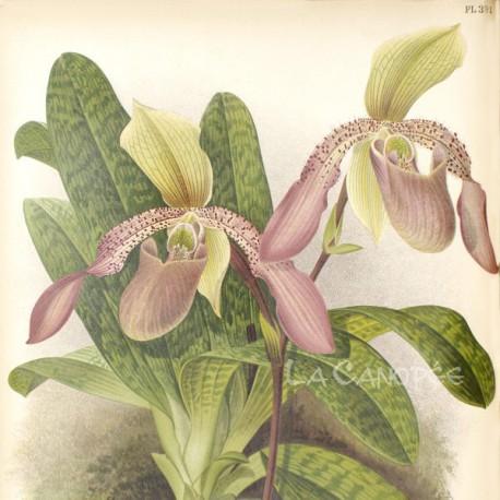 Paphiopedilum Macropterum