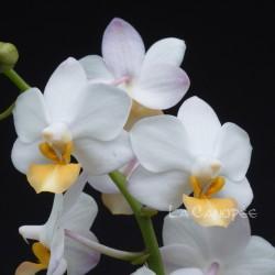 Phalaenopsis Liu's Triprince