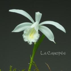 Pleione formosana 'Snowcap'