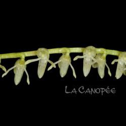 Pleurothallis pluriracemosa