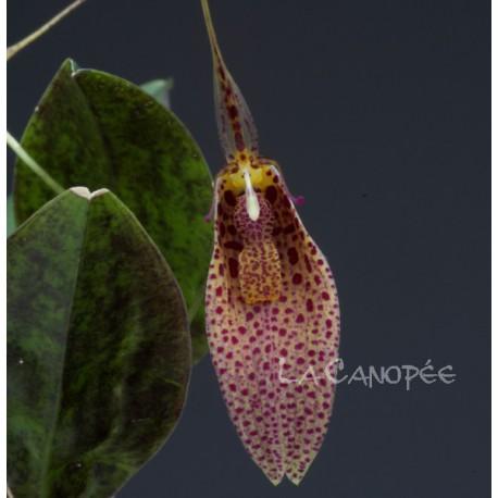 Restrepia elegans 'Tikal'