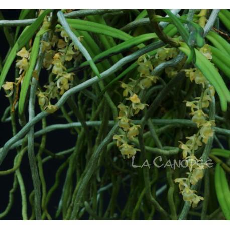 Rhipidoglossum cuneatum