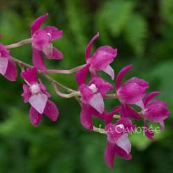 Symphyglossum sanguineum