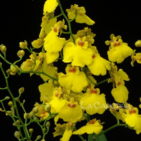 Cyrtocidium Gower Ramsey