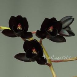 Fredclarkeara After Dark 'SVO Black Pearl'