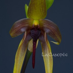 Bulbophyllum Wilbur Chang
