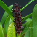 Bulbophyllum ankaratranum
