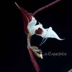 Gongora chocoensis