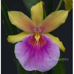 Miltonia Sunset