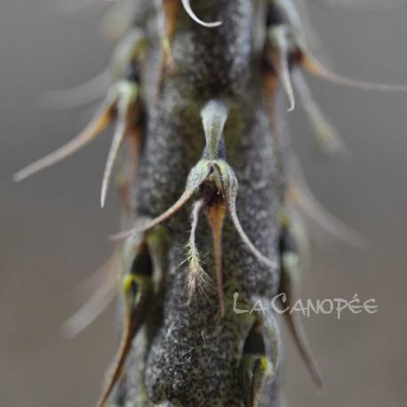 Bulbophyllum clipeibulbum