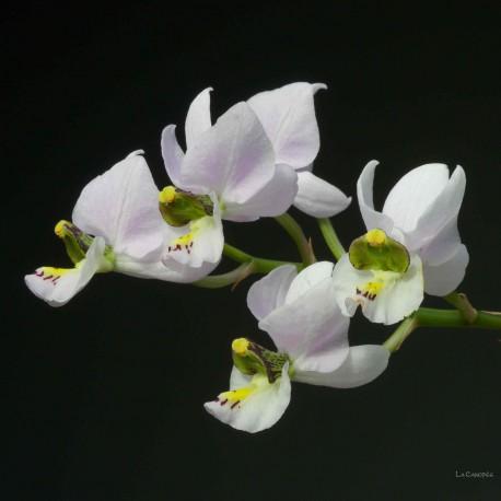 Barkeria melanocaulon