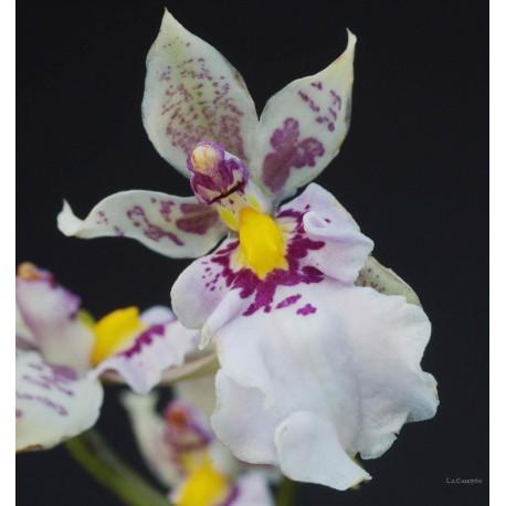 Caucaea phalaenopsis