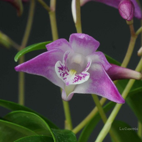 Dendrobium Gillian Leaney