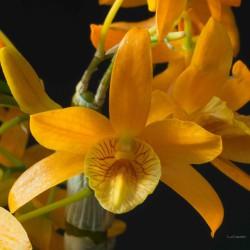 Dendrobium Stardust 'Firebird' sur plaque