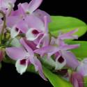 Dendrobium parishii sur plaque