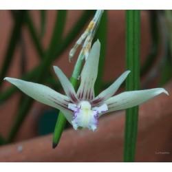 Dendrobium schoeninum