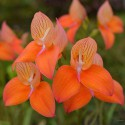 Disa Oak Valley