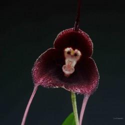 Dracula pholeodytes