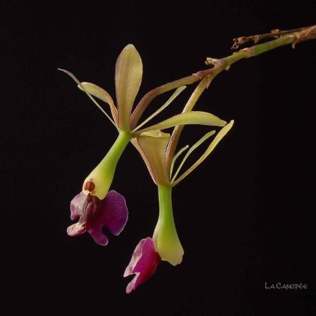 Epidendrum antonense