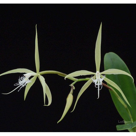 Epidendrum ciliare