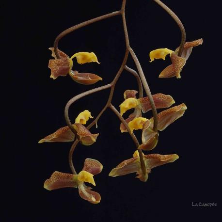 Gongora seideliana
