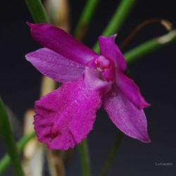 Isabelia pulchella sur plaque