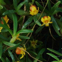 Maxillaria sanguinea