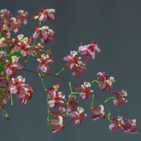 Oncidium Twinkle 'Red Fantasy'