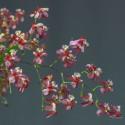 Oncidium Twinkle 'Red Fantasy'