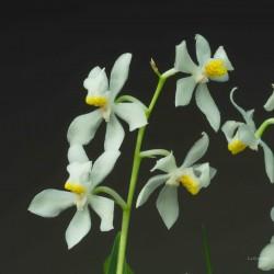 Odontoglossum crispum