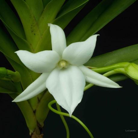 Angraecum sororium
