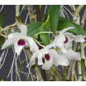 Dendrobium Cassiope sur plaque