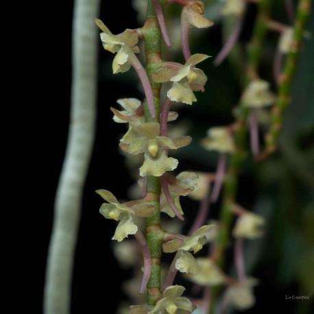 Rhipidoglossum rutilum