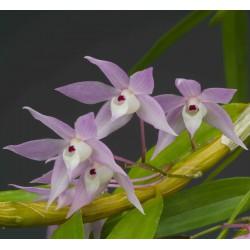 Dendrobium hercoglossum sur plaque