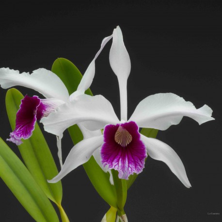Laelia purpurata var werhauseri x russelliana