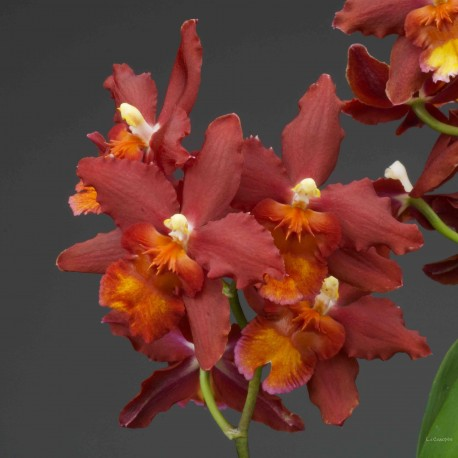 Oncidium Dianne Feinstein 'Red Ruby'