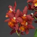 Oncidium Dianne Feinstein 'Red Ruby'